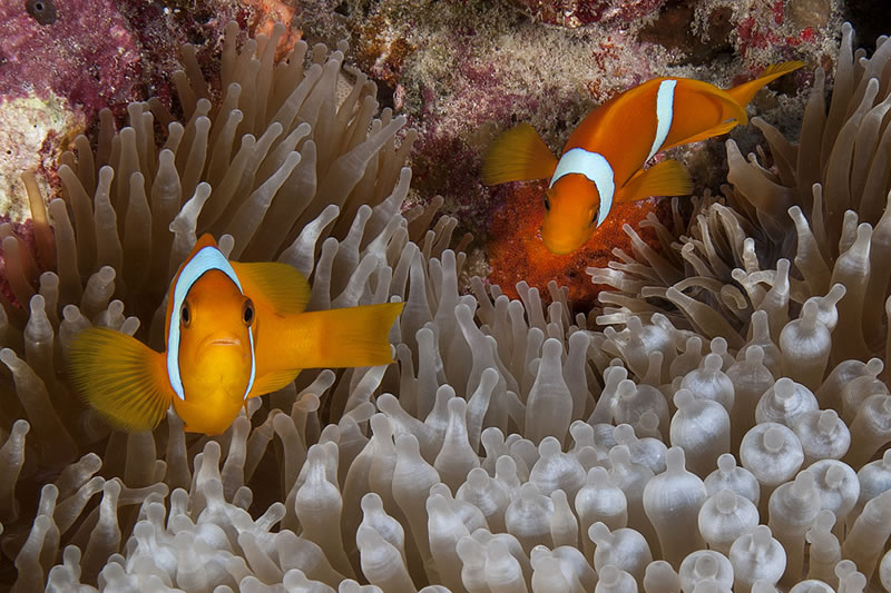 Pair of Two-banded Anemonefish (Amphiprion bicinctus) in a Bubble-tip Anemone (Entacmaea quadricolor).