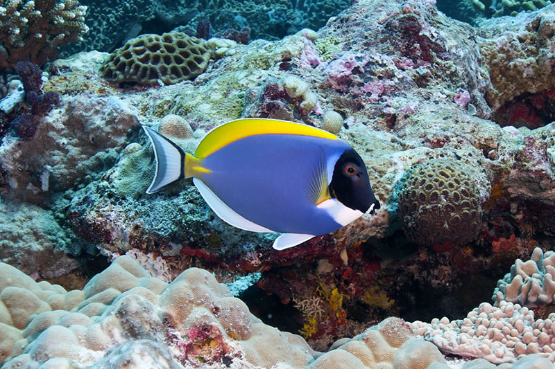 Powderblue Surgeonfish (Acanthurus leucosternon).