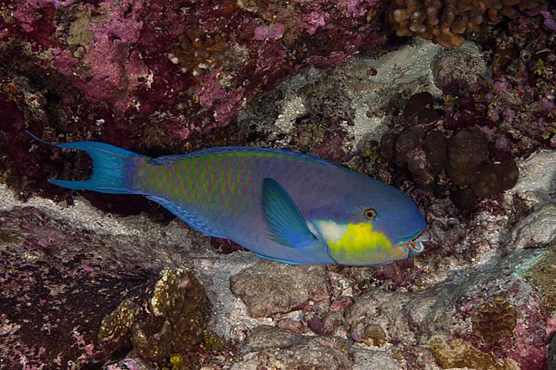 Roundhead Parrotfish (Chlorurus strongycephalus).