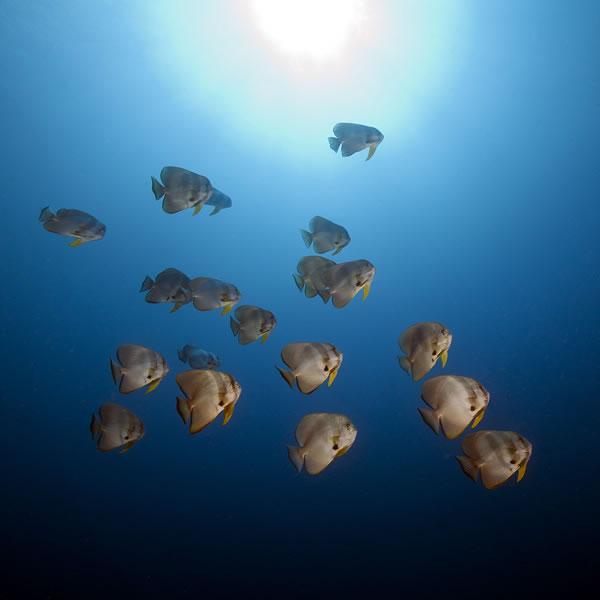 School of Longfin Spadefish (Platax teira) buzz by along a drop-off.