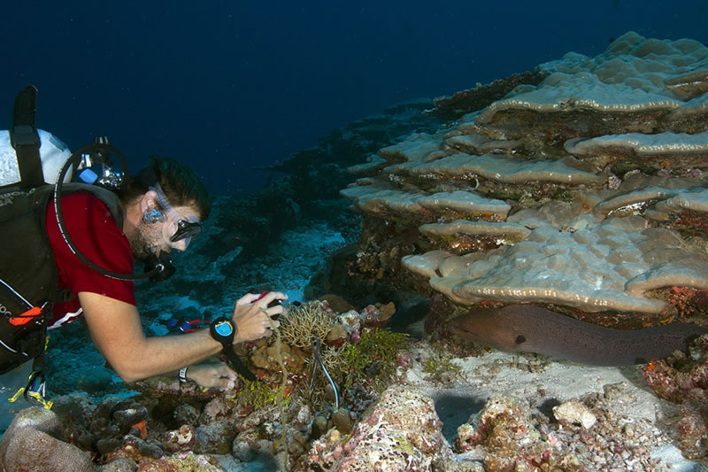 Anderson Mayfield interrupted by a Giant Moray (Gymnothorax javanicus) while sampling a Seriatopora coral.