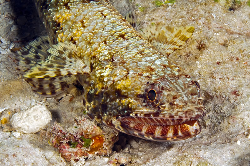 A distinctive feature of the Slender Lizardfish (Saurida gracilis) is the lined pattern along the jaws which displays the teeth even when the mouth is closed.
