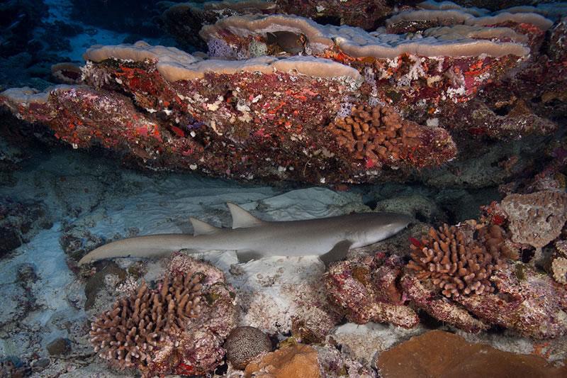 Small Tawny Nurse Shark (Nebrius ferrugineus) resting under an overhang.