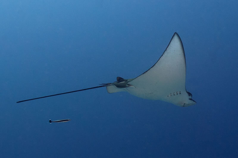 A Spotted Eagle Ray (Aetobatus narinari) is pursued by a small remora.
