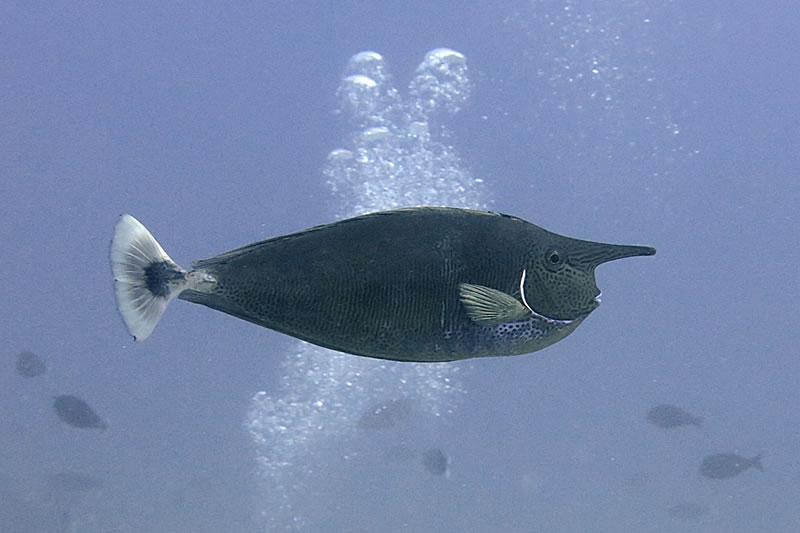 Spotted unicornfish (Naso brevirostris).