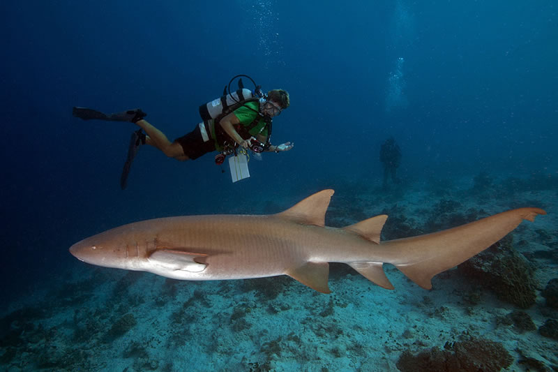 Curious Tawny Nurse Shark (Nebrius ferrugineus) swims by several scientists and gives Anderson Mayfield a close pass.