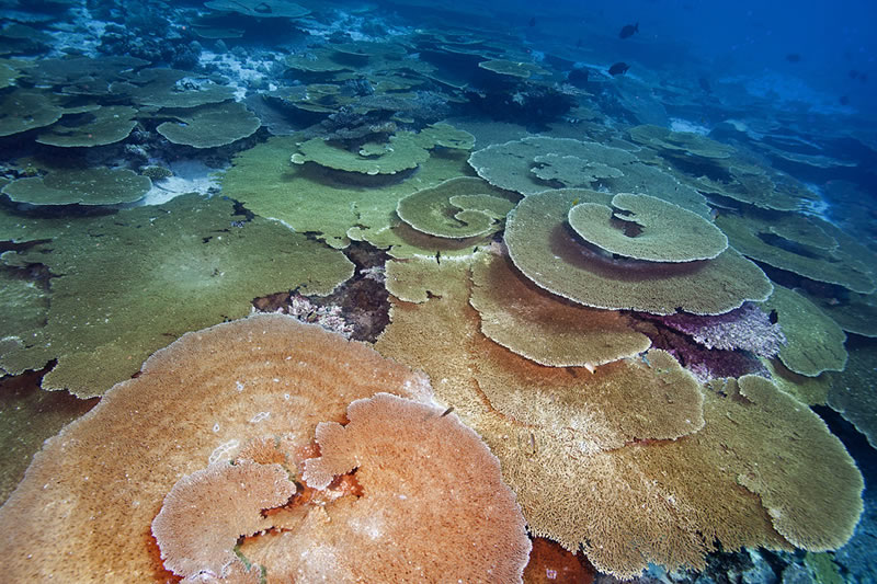 The backside of a reef flanked by a high current pass was home to an extended collection of large table acroporids each several meters in diameter.