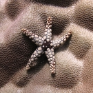 A noduled sea star (Fromia nodosa) sits atop a Porites colony.