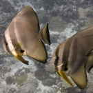 A pair of circular spadefish (Platax orbicularis) join us for a safety stop.
