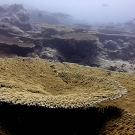 Acropora tables are a dominant feature of many reefs in Chagos.