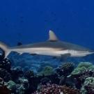 Blacktail Reef Shark (Carcharhinus wheeleri).