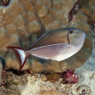 Blue-lined Triggerfish (Xanthichthys caeruleolineatus).
