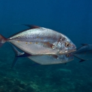 Pair of large Bluefin Trevally (Caranx melampygus) come by for a close inspection.