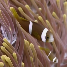 Chagos anemonefish (Amphiprion chagosensis).