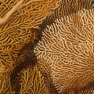 Detail of organgish pink gorginian sea fan showing tiny orange polyps scattered along the network of branches.