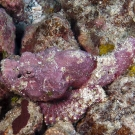 Devil Scorpionfish (Scorpaenopsis diabolus) blends in amazingly well with the pink Crustose Coraline Algae.