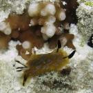 Dorid nudibranch.