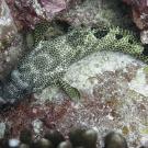 Foursaddle grouper (Epinephelus spilotoceps).
