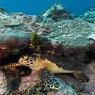 Hawksbill Turtle (Eretmochelys imbricata) sleeping under a ledge during a morning dive.