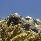 Indian dascyllus (Dascyllus marginatus) find refuge in a colony of branching Acropora coral.