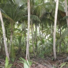 Islands of the Three Brothers group in the Chagos Archipelago have thick palm forests