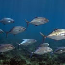 Mixed school of Bluefin Trevally (Caranx melampygus) and Yellow-spotted Trevally (Carangoides orthogrammus).