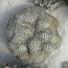 Platygyra brain coral.