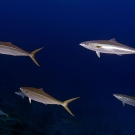 Small school of Rainbow Runners (Elagatis bipinnulatus) that buzzed us on our safety stop at the end of the dive.