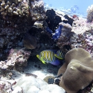 Regal angelfish (Pygoplites diacanthus).