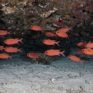 School of Whitetip Soldierfish (Myripristis vittata) orient themselves to the roof of an overhanging ledge.