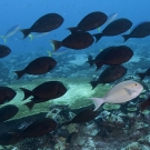 School of Yellowmask Surgeonfish (Acanthurus mata) with one pale individual which turned dark a moment after this photo.