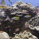 Schools of small fish will often find shelter from predators in the crevices between live corals.