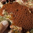 Small colony of Blastomussa merletti coral (with finger for scale) looking like a cluster of zoanthids. This was a new genus of corals not seen before on the Global Reef Expedition.