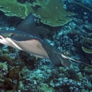 A relatively unspotted form of the Spotted Eagle Ray (likely Aetobatus narinari).