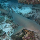 Tawny Nurse Shark (Nebrius ferrugineus).