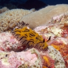 The tiny Willey's Halgerda nudibranch (Halgerda willeyi) are regularly seen in the Chagos Archipelago.