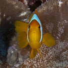 Two-band Anemonefish (Amphiprion bicinctus) caught for a split second staring at its reflection in the camera's dome port.