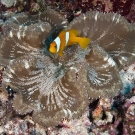Two-band Anemonefish (Amphiprion bicinctus) in an Adhesive Anemone (Cryptodendrum adhaesivum).