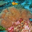 Two-band Anemonefish (Amphiprion bicinctus) swims among the various anemones in this cluster.