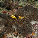 Two-banded Anemonefish (Amphiprion bicinctus) found only in the Red Sea and Chagos Archipelago.