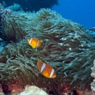 Two-banded Anemonefish (Amphiprion bicinctus).