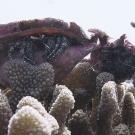 Two blue knee hermit crabs (Dardanus guttatus) perch atop a Pocillopora colony.