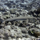 White tip reef shark (Triaenodon obesus).