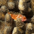 Yellow-spotted Scorpionfish (Sebastapistes cyanostigma) hiding among the branches of a Pocillopora coral.