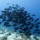 School of Yellowmask Surgeonfish (Acanthurus mata) schools above a sloping drop-off.