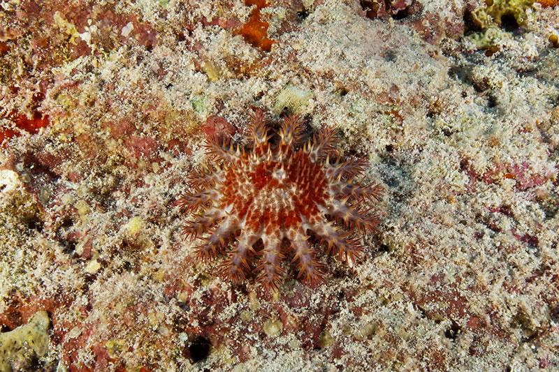 Tiny juvenile Crown-ot-thorns Sea Star (Acanthaster planci).