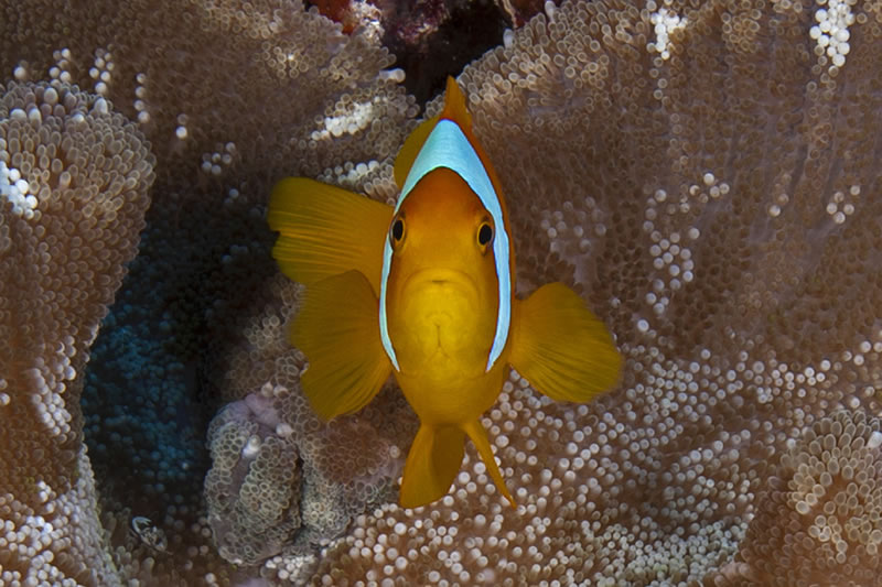 Two-band Anemonefish (Amphiprion bicinctus) caught for a split second staring at its reflection in the camera\'s dome port.