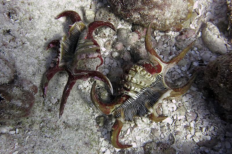 Two scorpion spider conchs (Lambis scorpius).
