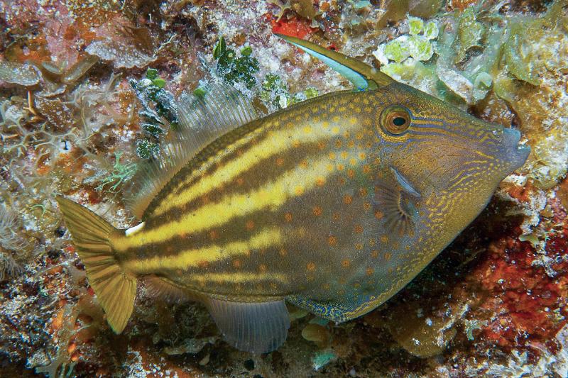 Orangespotted Filefish