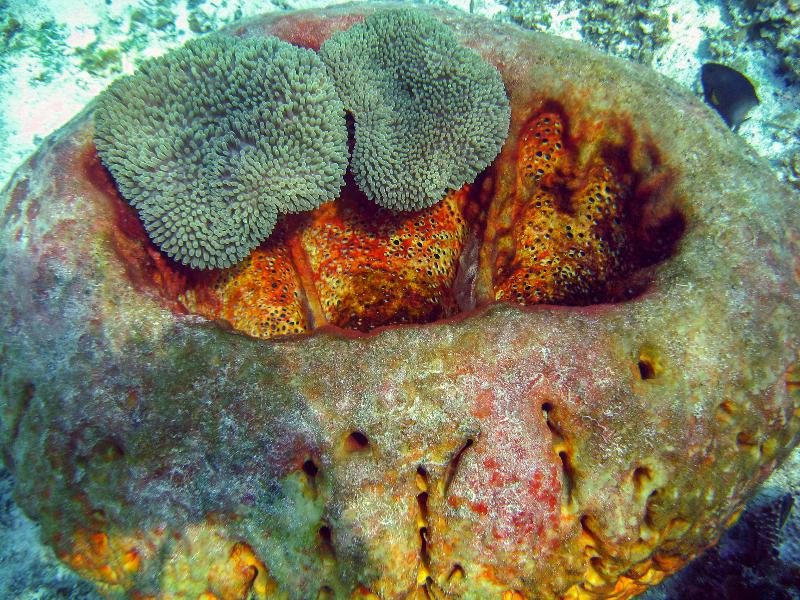 Leathery Barrel Sponge with Sun Anemone